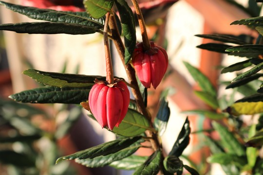 Lanterns hanging on the Crinodendron