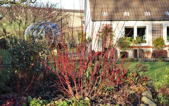 Lovely Red-Stemmed Cornus