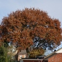 Any day now .... (Quercus robur)
