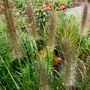 Pennisetum alopecuroides hamelyn  for Dawn