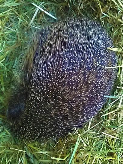 hedgehog in house