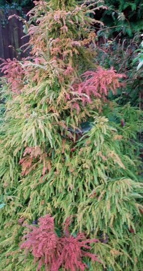 Thuja bronzing up for the first time.
