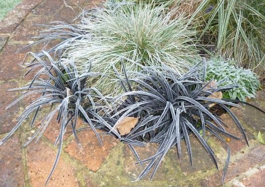 Frosty grasses