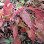 Epimedium Kaguhahime foliage (For my File) (Epimedium x)