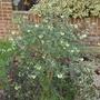 Coronilla valentina subsp glauca var citrina - 2019 (Coronilla valentina)