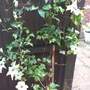 Clematis Fond Memories still romping away!