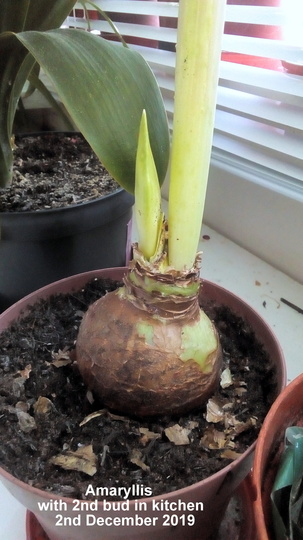 Amaryllis with 2nd bud in kitchen 2nd December 2019 (Amaryllis Hippeastrum)