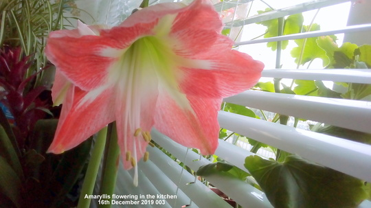 Amaryllis flowering in the kitchen 16th December 2019 003 (Amaryllis)
