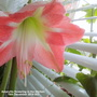 Amaryllis_flowering_in_the_kitchen_16th_december_2019_003