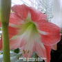Amaryllis flowering in the kitchen 16th December 2019 002 (Amaryllis)