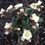 Helleborus Cinnamon Snow
