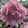 Hellebore -double Pink