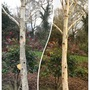 Before and After - Betula jacquemontii