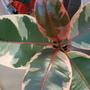 Ficus elastica Ruby... (Ficus elastica (Assam Rubber))