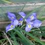 Iris unguicularis - 2019 (Iris unguicularis)