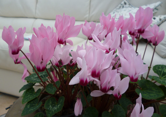 Cyclamen half hardy species. (Cyclamen neapolitanum)