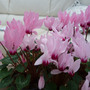 Cyclamen_ha_f_hardy_form