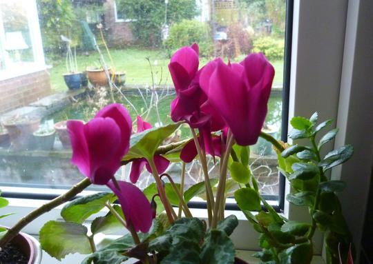 Cyclamen houseplant (Cyclamen persicum)