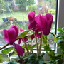 Cyclamen_houseplant