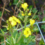 Erysimum yellow form