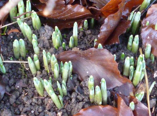 Galanthus emerging