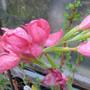 hespranthus mid pink