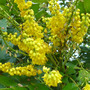 Mahonia Lionel Fortescue