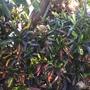 Codiaeum variegatum 'Mammy' (Codiaeum variegatum 'Mammy')