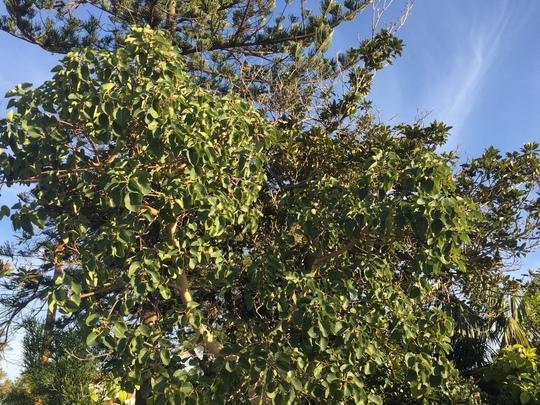 Ficus palmeri - Rock Fig (Ficus palmeri - Rock Fig)