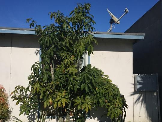 Pachira aquatica - Money Tree, Guiana Chestnut (Pachira aquatica - Money Tree, Guiana Chestnut)