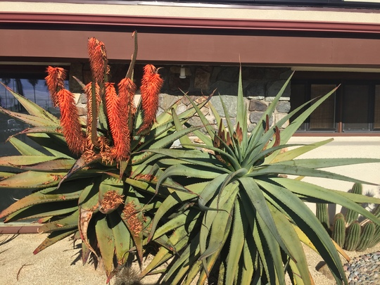 Aloe ferrox  (Aloe ferrox)