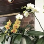 Phalaenopsis beginning to flower again.  (Phalaenopsis)