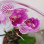 Pink orchid in tall glass jar.