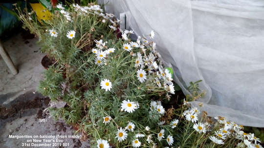 Marguerites on balcony from inside 31st December 2019 001 (Argyranthemum frutescens)