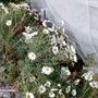 Marguerites on balcony from inside 31st December 2019 001 (Argyranthemum frutescens)