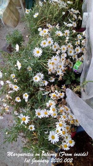 Marguerites on balcony From inside 1st January 2020 002 (Argyranthemum frutescens)