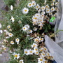 Marguerites_on_balcony_from_inside_1st_january_2020_002