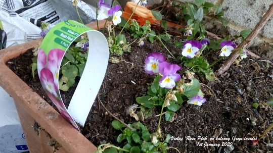 Violas Rose Pink on balcony from inside 1st January 2020