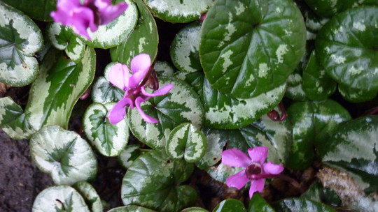 Cyclamen that come up every year