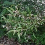 Sarcococca hookeriana var digyna - 2020 (Sarcococca hookerianum var digyna)