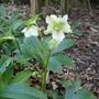 Helleborus x hybridus (Helleborus x hybridus)