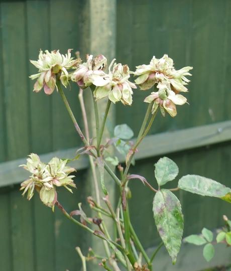 Rosa x odorata 'Viridiflora' - 2020 (Rosa x odorata 'Viridiflora')