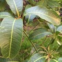 Little Mango Tree Flushing Growth (Mangifera indica) (Mangifera indica (Mango))