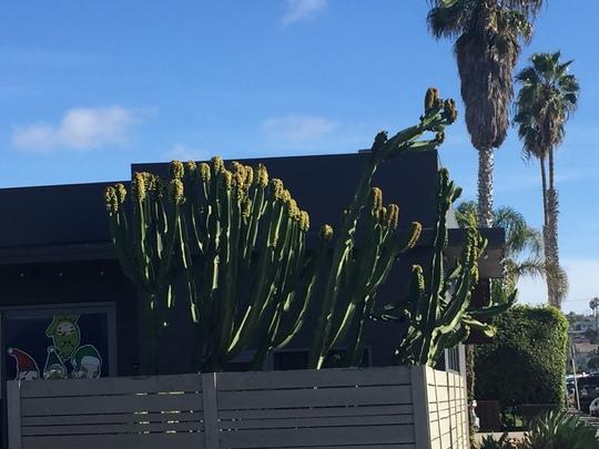 Euphorbia igens - Candelabra Tree (Euphorbia igens - Candelabra Tree)