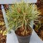Pinus Chantry Blue.. (Pinus sylvestris (Scots Pine))