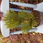 Pinus heldreichii Malinki... (Pinus heldreichii (Bosnian Pine))