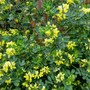 Coronilla...pumping out the perfume! (Coronilla valentina (Coronille))