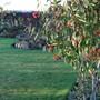 Cotoneaster frigidus 'Cornubia' (Cotoneaster frigidus (Tree Cotoneaster))