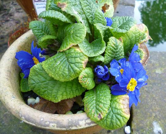 blue primula