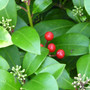 Skimmia buds and berries